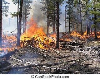 Slash - Hot fire burning logging slash in a pine forest.