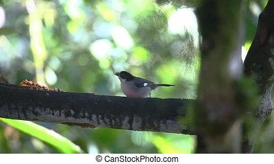 Slaty Brush Finch at a feeder - Slaty Brush Finch, Atlapetes...