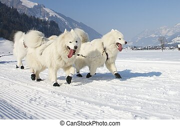 sled dog race in winter on snow in Lenk / Switzerland 2012