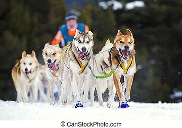 sled dog race on snow