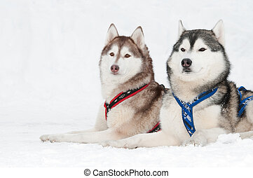 two siberian husky sled dog with draught in winter