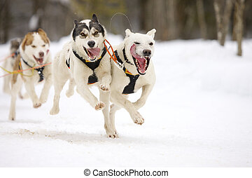 front view of siberian sled dog huskys at race in winter