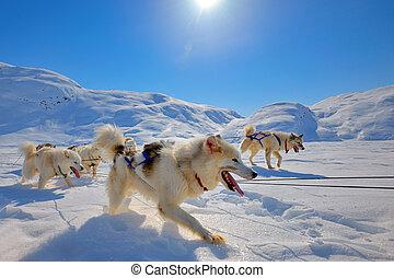 sled hunde, rennender , in, grönland