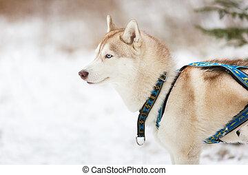 Sled husky dog