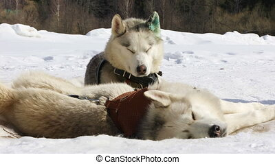 Sled husky dogs - Sled dogs husky resting on the snow before...
