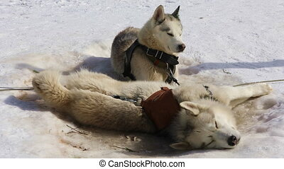 Sled Husky lying on the snow - Siberian Huskies sled dog...
