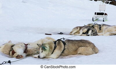 Sledding dogs breed Siberian Huskies resting on the snow...