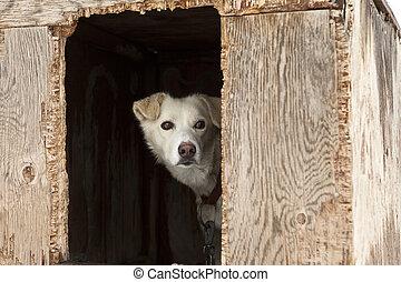 sleden förföljer, in, kryssfaner, hundkoja