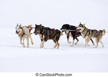 Sledge dogs in the snowy country
