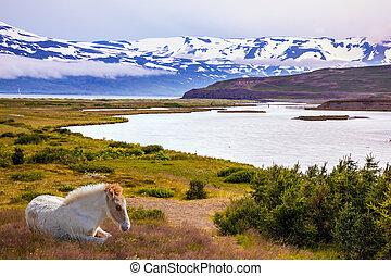 Sleek groomed Icelandic horse grazing