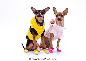 Sleek-haired toy-terrier and chihuahua.