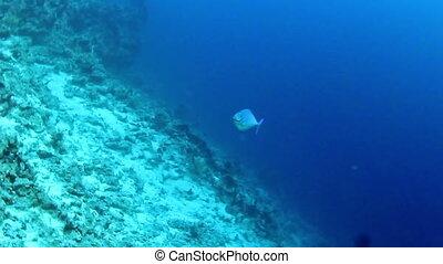 Sleek unicornfish (Naso hexacanthus) on a coral reef in the Red Sea, Egypt.