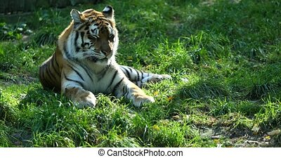 Sleep tiger on green grass