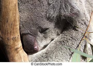 Sleep tight - Close up of a Koala sleeping in a tree in...
