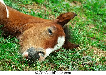 sleeping., πουλάρι