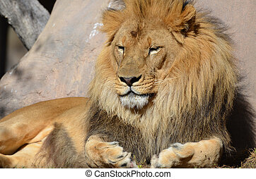 Sleeping African Lion in the Warm Sunlight
