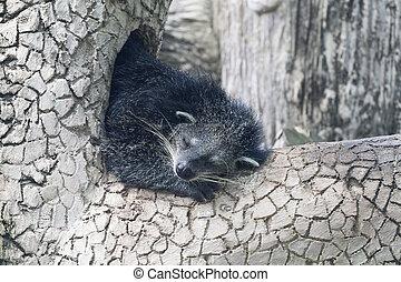 Sleeping binturong on a tree
