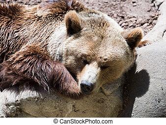Sleeping brown bear on stone of rock