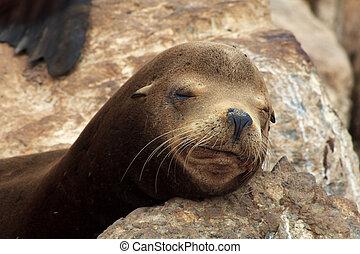 Sleeping Brown Sea Lion on Rocks