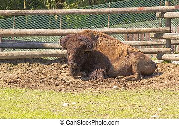 buffalo in the yard