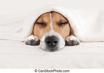 sleeping dog in bed - jack russell dog sleeping under the...