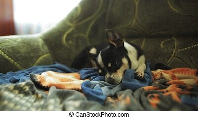 Sleeping dog in the armchair. Chihuahua or toy-terrier....