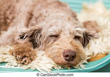Sleeping dog - Photo of Puli sleeping on the dog bed