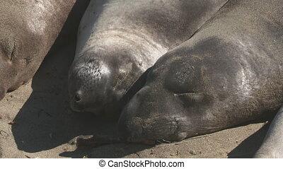 Sleeping Elephant Seals - Steady, close up shot on the heads...