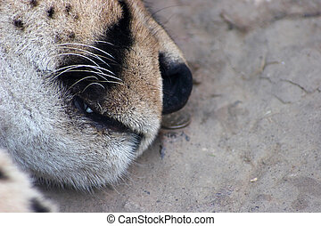 Sleeping feline muzzle