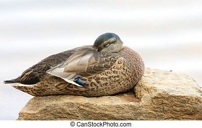 Sleeping Female Mallard