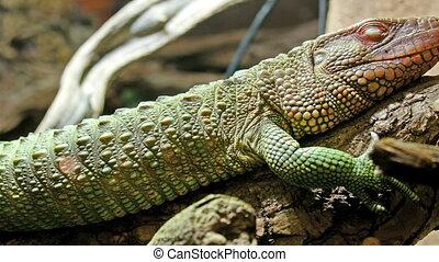 Sleeping gecko or green lizard on a tree branch
