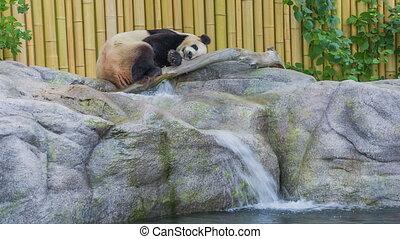Giant Panda - Sleeping Giant Panda in Toronto Zoo