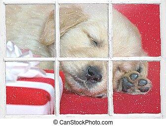 sleeping golden retriever puppy with gift
