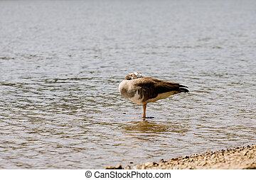 Sleeping Goose on River Shore