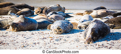 Sleeping Harbor Seals