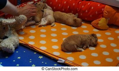 Sleeping havanese puppys timelaps - Timelaps of sleeping...