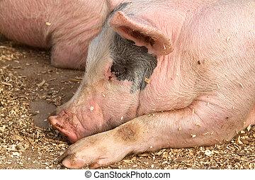 Hog sleeping among woodshavings
