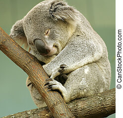 Sleeping Koala - Koala sleeping in tree