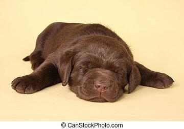 Sleeping lab puppy - Sleeping labrador retriever puppy