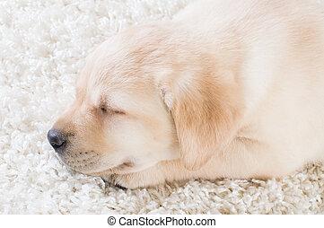 sleeping labrador puppy, close-up