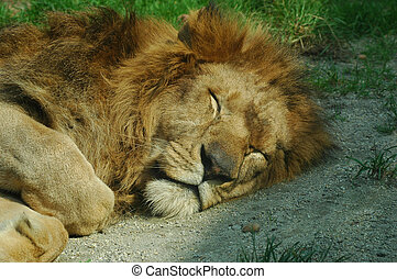 Sleeping lion - Portrait of a sleeping lion