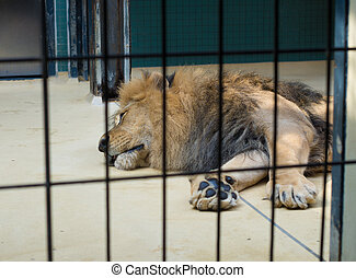 sleeping lion - resting lion behind bars in the Berlin zoo