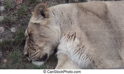 Sleeping lion.