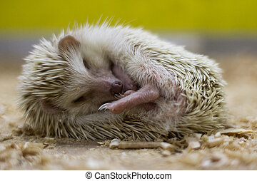 Sleeping little hedgehog