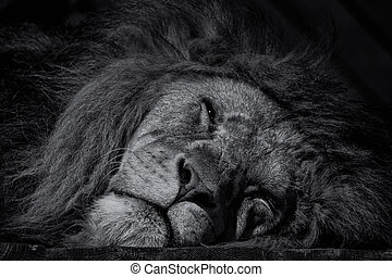 Sleeping male lion black and white image