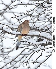 Sleeping Mourning Dove in Snow - Sleeping Mourning Dove (...