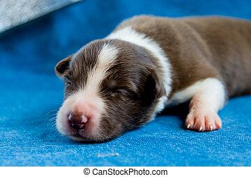 Sleeping newborn border collie