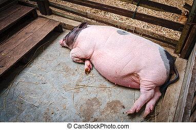 Sleeping pig in pen