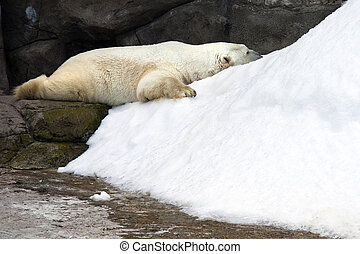 polar bear - Sleeping polar bear