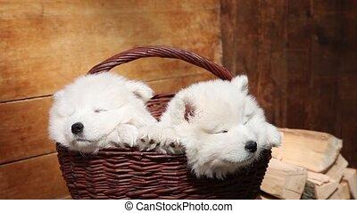 Sleeping Samoyed puppies